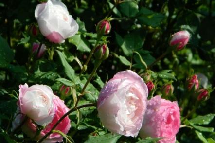 Світло-рожеві сорти старовинних троянд, які можна знайти в Україні. © Галина Микитинець