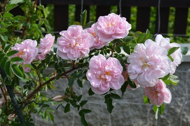 Троянда «Стенвелл Перпетуал» (Stanwell Perpetual), James Lee, Великобританія, до 1821.
