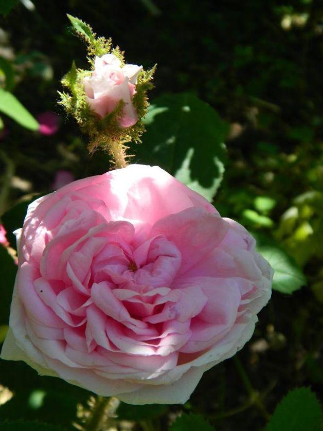 Троянда «Мускоза», або «Сентофілія Мускоза» (Muscosa або Centifolia Muscosa) невідомої інтродукції, до 1696 р.
