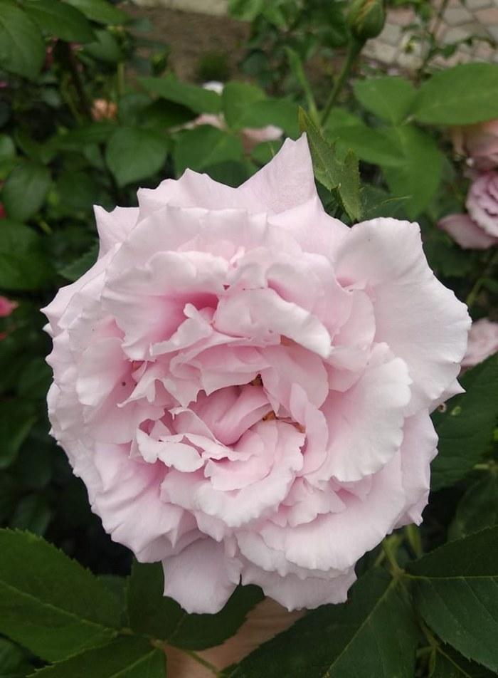 Шикарний, як і всі ремонтантні гібриди троянд, сорт «Місіс Джон Лейн» (Mrs John Laing), Bennet, Великобританія, 1885.
