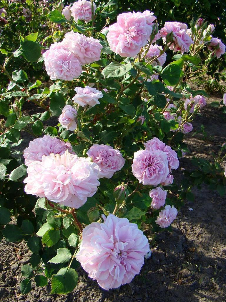 Бурбонська троянда «Сувенір де пані Огюст Чарльз» (Souvenir de Mme Auguste Charles), Moreau-Robert (France, 1866)