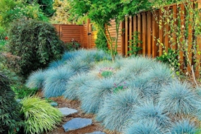 Костриця, або Вівсяниця — невибагливий і яскравий злак для вашого саду