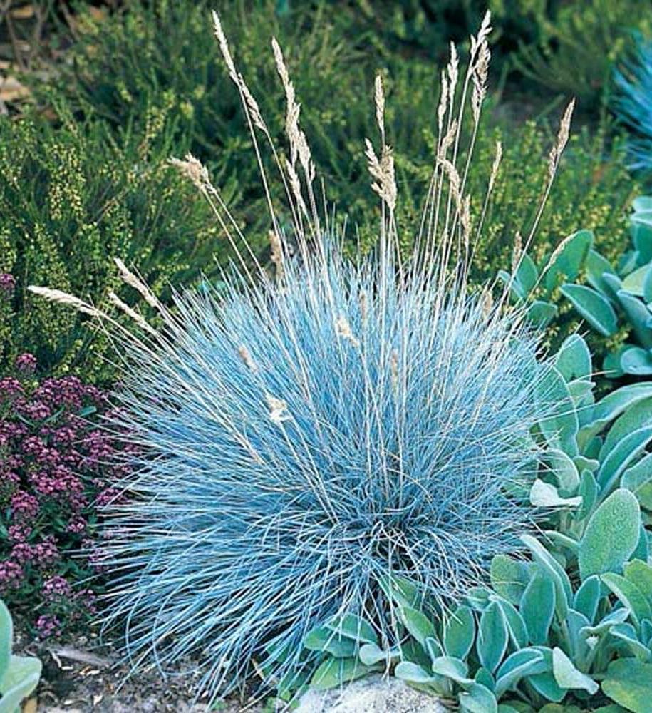 Костриця сиза, або Вівсяниця блакитна (Festuca cinerea, раніше відома як Festuca glauca)