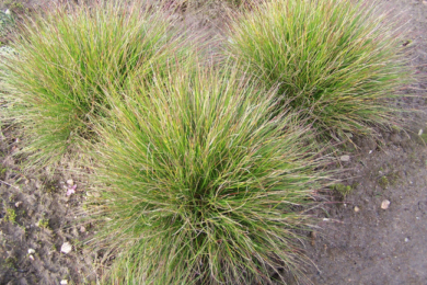 Костриця тонколиста (Festuca tenuifolia)