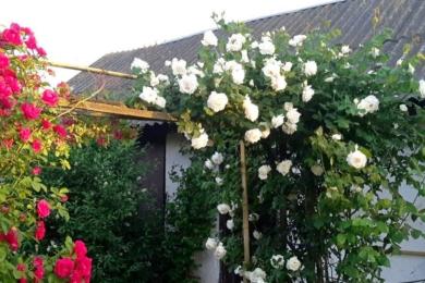 На широкій перголі – однократно квітучі червона троянда «Фламентанц» та невідома біла троянди з клематисами