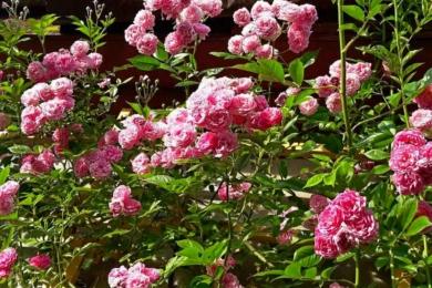 Троянда «Дороті Перкінс»