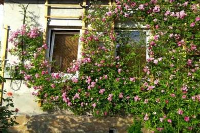 «Дороті Перкінс» – однократно квітуча троянда – тепер всім стінам бути в трояндовому цвіті