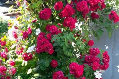 Клематис «Лісна опера» доганяє троянду «Фламентанц»