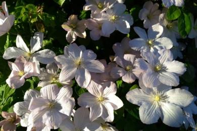 Клематис «Лісна опера» - цвітіння довжиною в місяць