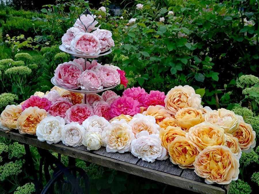 Про сад, про нас і про троянди — Вікторія Кононенко