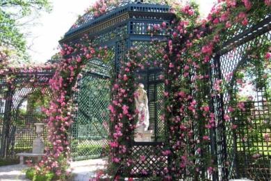 Троянда Alexandrin Giraul