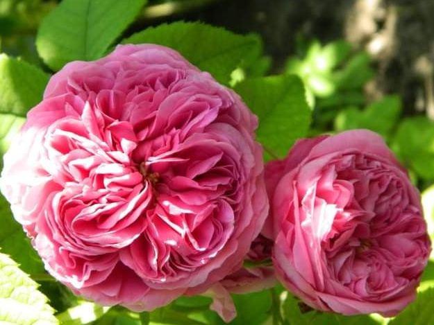 Троянда «Йоланд Арагон» (Yolande d'Aragon), Vibert, Франція 1843