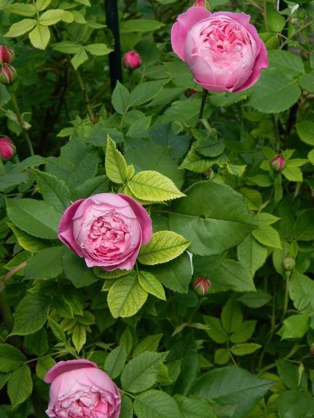 Троянда «Ля Рейн Вікторія» (La Rhine Victoria, La Reine Victoria) , Шварц, Франція, 1872