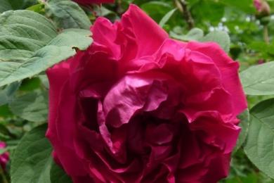 Троянда Parfume de L'Hay, Жуль Граверо, Франція, 1901
