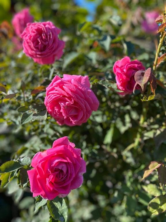 Троянда «Мадам Ісаак Перейро» (Mme Isaac Pereire), Гаркон, 1841 рік
