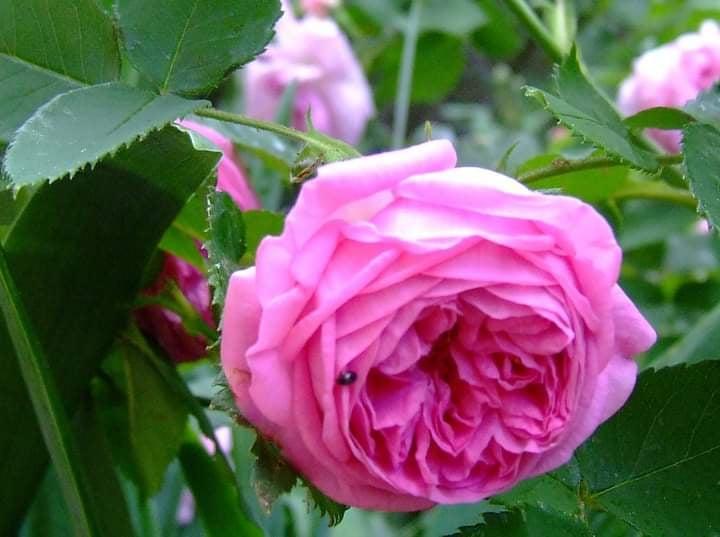 Троянда «Луїза Одьє» (Louise Odier, Madame de Stella), Margottin Pere & Fils, Франция, 1851