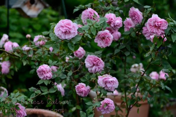 Троянда «Мадам Ернест Кальват» (Madame Ernest Calvat), Marie-Louise Schwartz, 1888