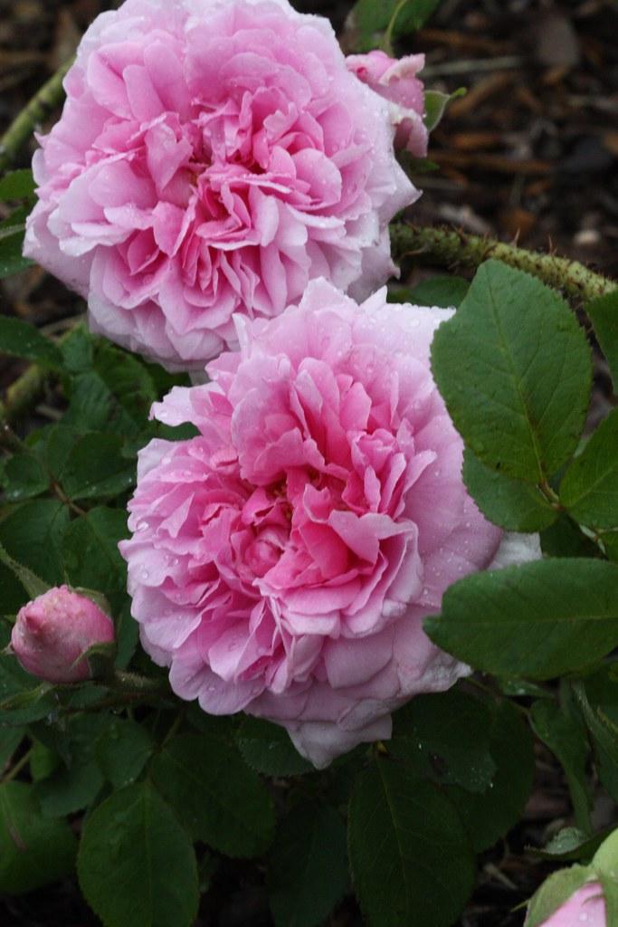 Троянда «Компт де Шамбор» (Comte de Chambord), Robert Moreau, Франція, до 1858