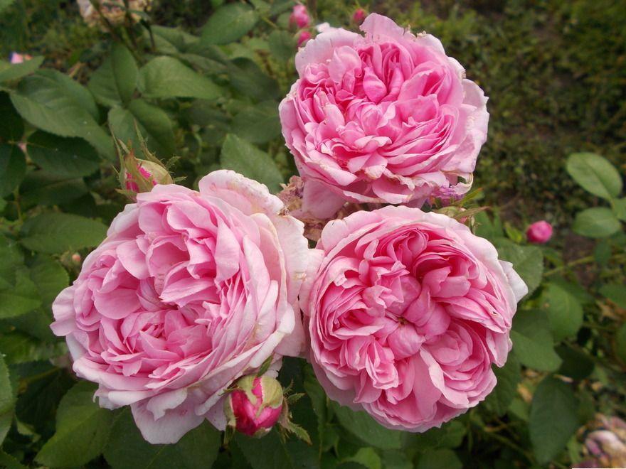Троянда «Сідоні» (Sidonie), Jean-Pierre Vibert Франція, 1847 р.