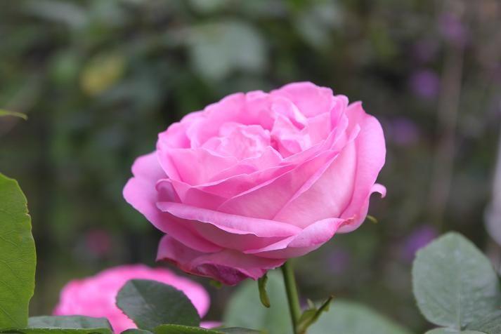 Троянда «Комтесс Сесіль де Шабрійант» (Comtesse Cecile de Chabrillant), Marest, Франція, 1858 р.