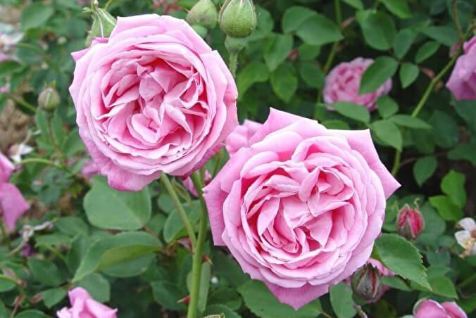 Троянда «Мадам Неманн» (Madame Neumann, Hermosa), Marchesseau Франция, 1832 р.