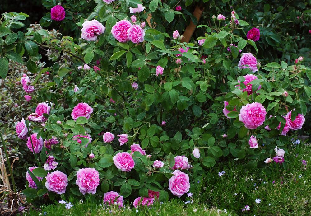 Старовинна троянда «Мадам Болл» (Madame Boll), Daniel Boll США, 1858 р.