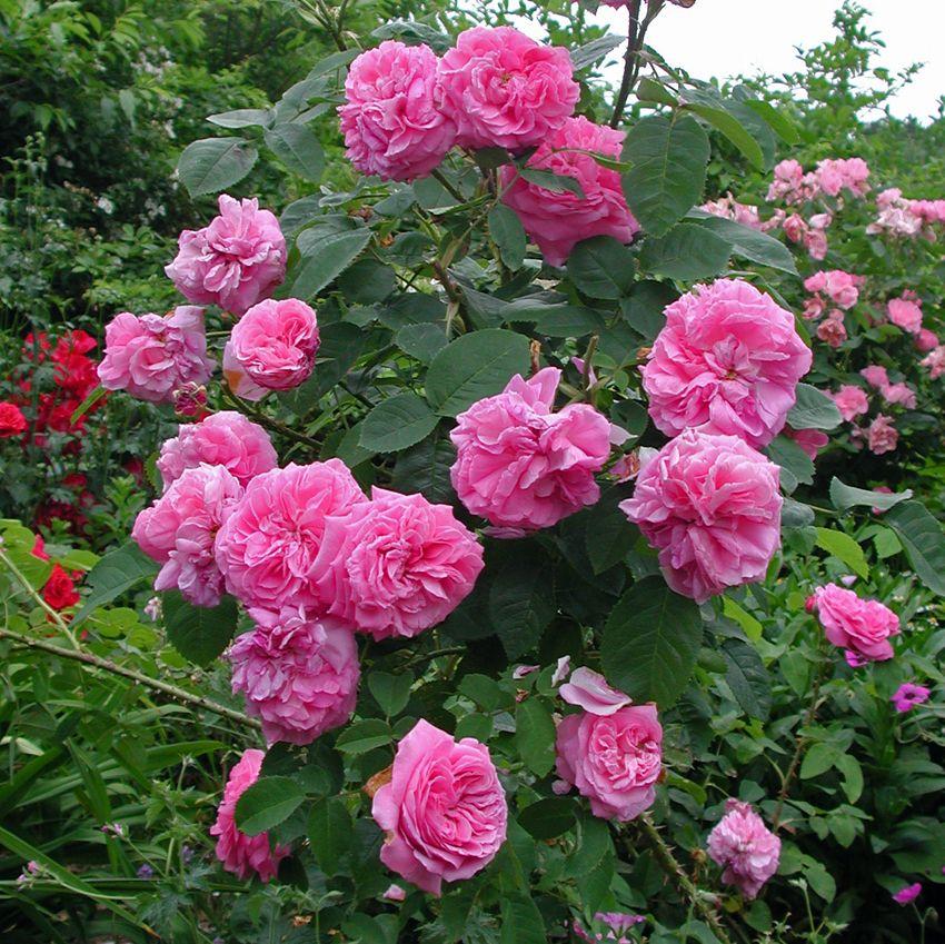 Троянда «Барон Прево» (Baronne Prevost), Desprez, Франция, 1842 р.