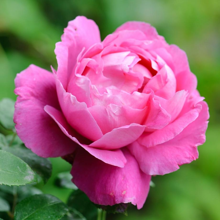Троянда «Поль Нейрон» (Paul Neyron), Levret Франція, 1869 р.