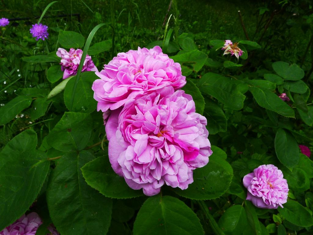«Роза де Альгамбра» (Rose de Alhambra), Werner Ruf , Німеччина, 2006 р.