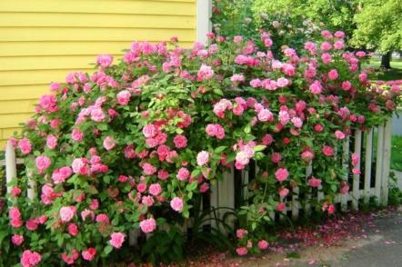 Сорти старовинних троянд насичених рожевих відтінків, які є в Україні