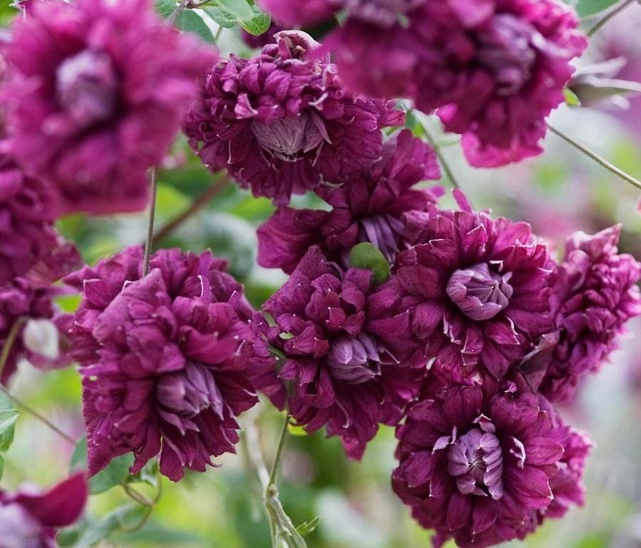 Клематис «Пьорпл Плена Елеганс» (Purple Plena Elegans, або Purpurea Plena Elegans)