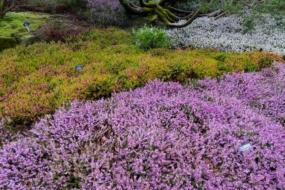 10 невибагливих грунтопокривних рослин, які створять в саду яскраві килими