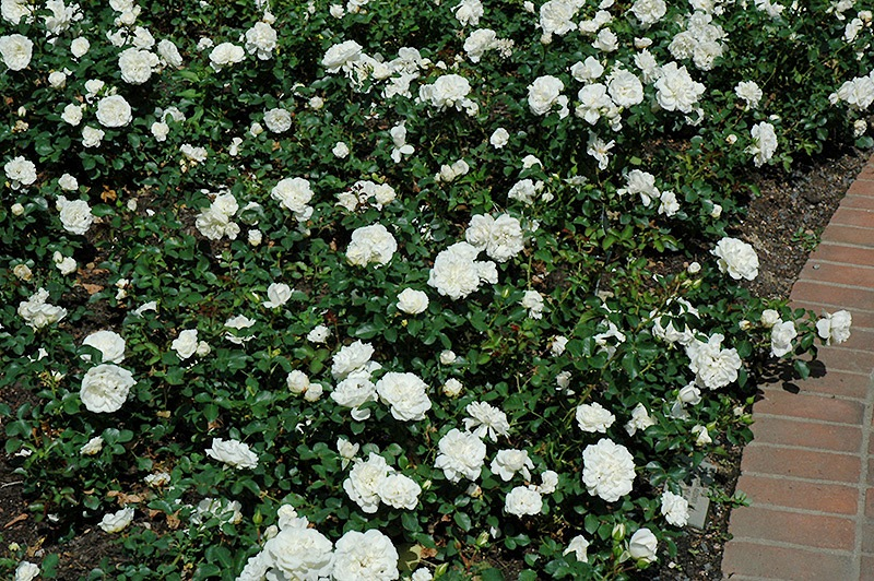 Грунтопокривна троянда «Уайт Мейділанд» (White Meidiland)