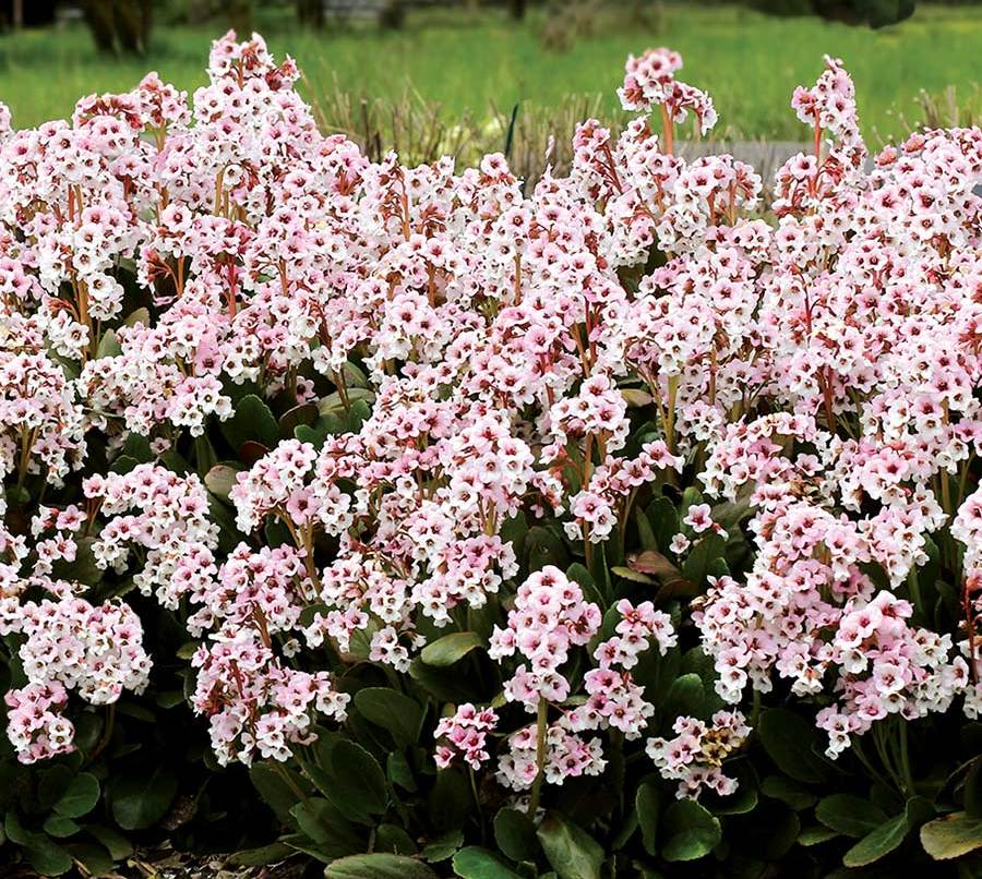 Гібрид бадана (Bergenia hybrids)