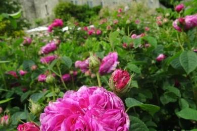 Літнє шоу троянд навколо саду. Улюблена троянда головного садівника, сорт Чарльз де Міллс ('Charles de Mills)