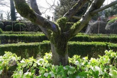 Чемерник під яблунями в саду Потаже