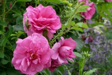 Соковиті троянди всередині і наприкінці сезону в саду Потаже