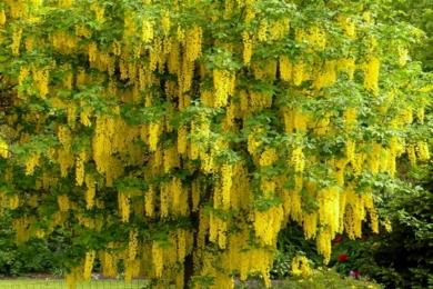 Золотий дощ, або Бобовник анагіролистий (Laburnum anagyroides)