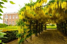 Як вирощувати в саду золотий дощ, або бобовник?