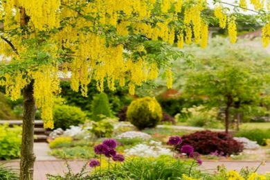 Альпійський золотий дощ, або бобовник альпійський (Laburnum alpinum)