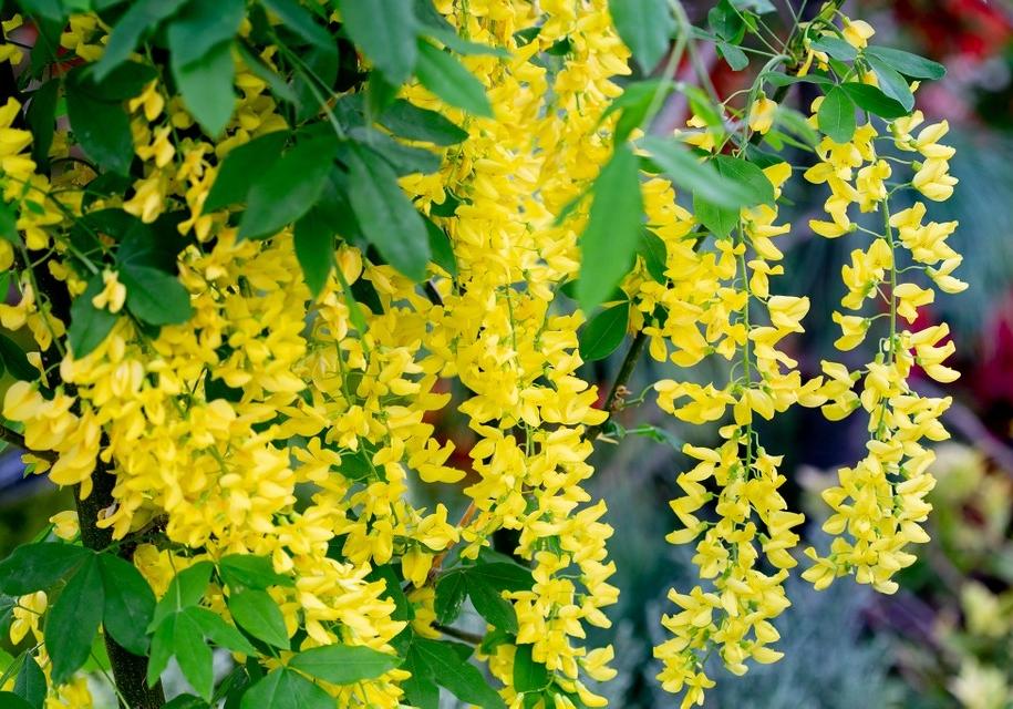 Цвітіння бобовника — видовище особливе - починається тоді ж, коли стартує і ріст листя, впродовж трьох тижнів перетворюючись на головну окрасу саду
