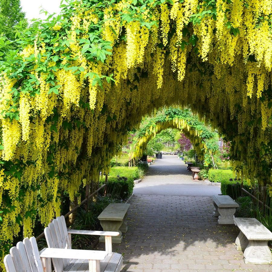Якщо почати направляти рослину змолоду, прямі довгі пагони бобовника можна сформувати в тунелі чи зелені дахи (при умові вибору міцних конструкцій основи)