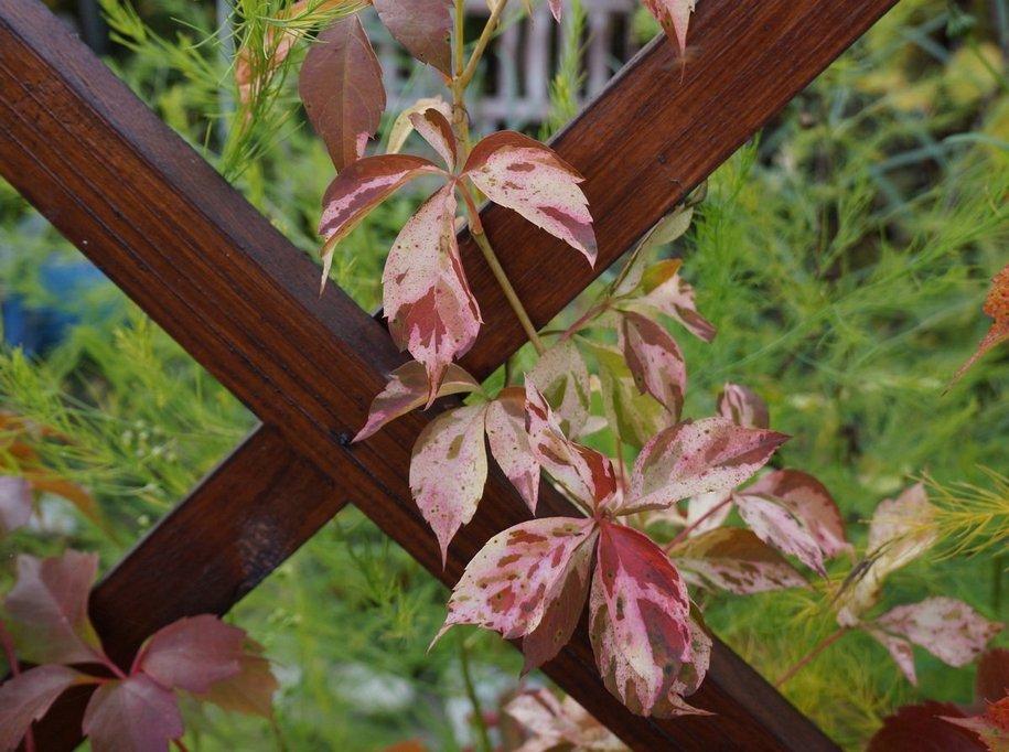 Виноград п'ятилисточковий (Parthenocíssus quinquefolia) «Зорепад» (Star Showers)
