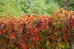 Дівочий виноград на подвір'ї — 40 ідей з фото