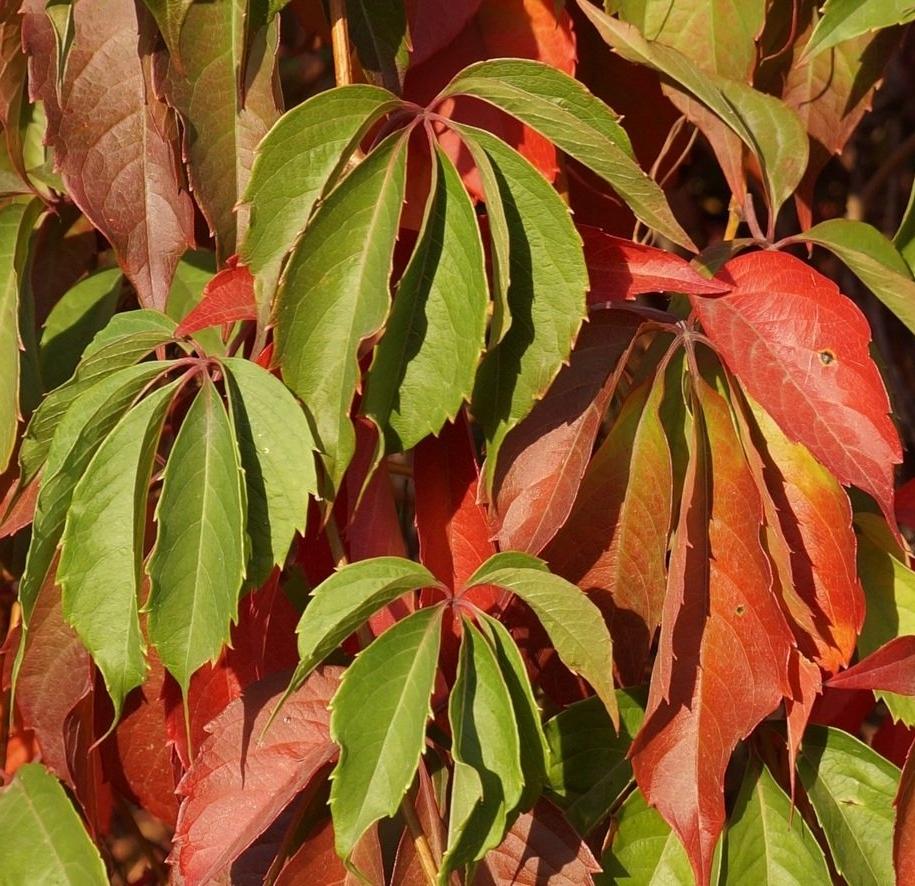 Дівочий виноград п'ятилисточковий (Parthenocíssus quinquefolia) «Червона стіна» (Red Wall)