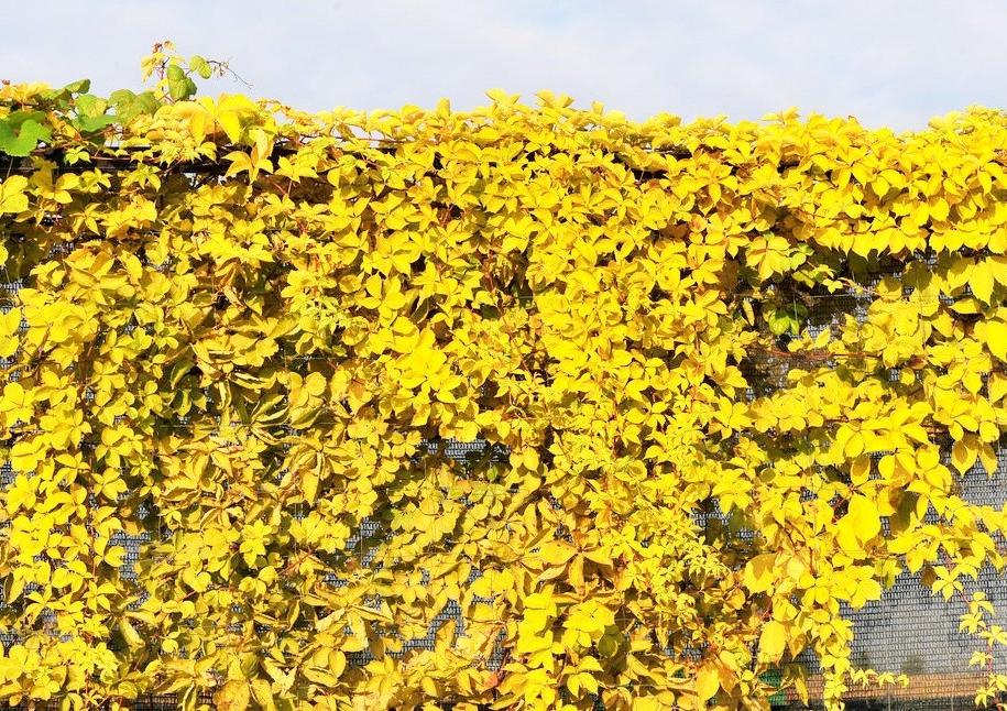 Дівочий виноград п'ятилисточковий (Parthenocíssus quinquefolia) «Жовта стіна» (YellowWall)