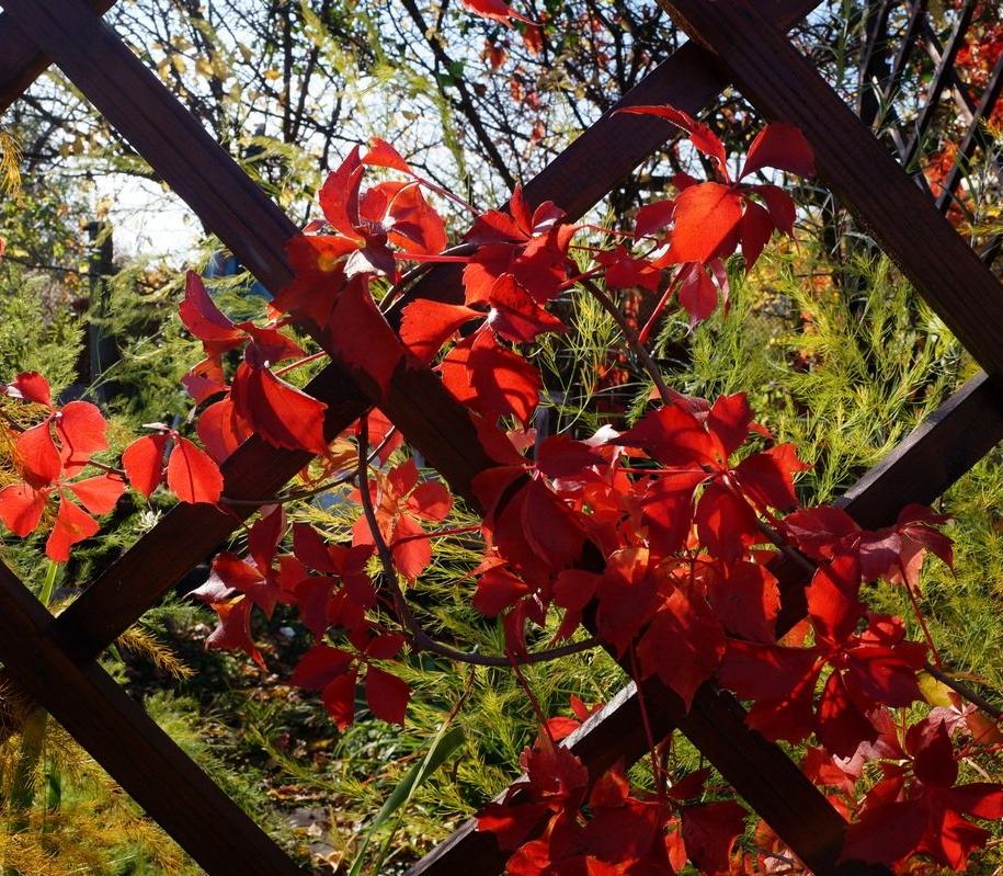Виноградний деревій, або Гущавий плазун (Parthenocissus inserta)