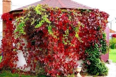 Дівочий виноград
