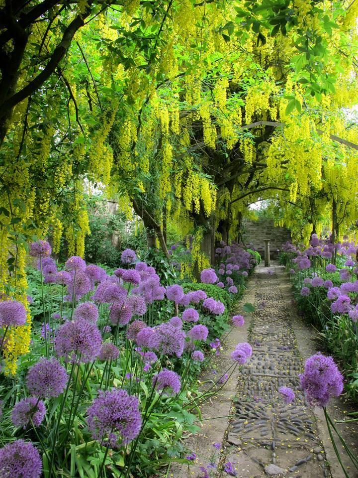 Прогулянка алеєю з бобовника (Laburnum Walk) – класика англійського саду і одна з найбільш впізнаваних світлин саду Барнслі