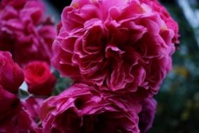 12 фіолетових сортів старовинних троянд, які можна придбати в Україні